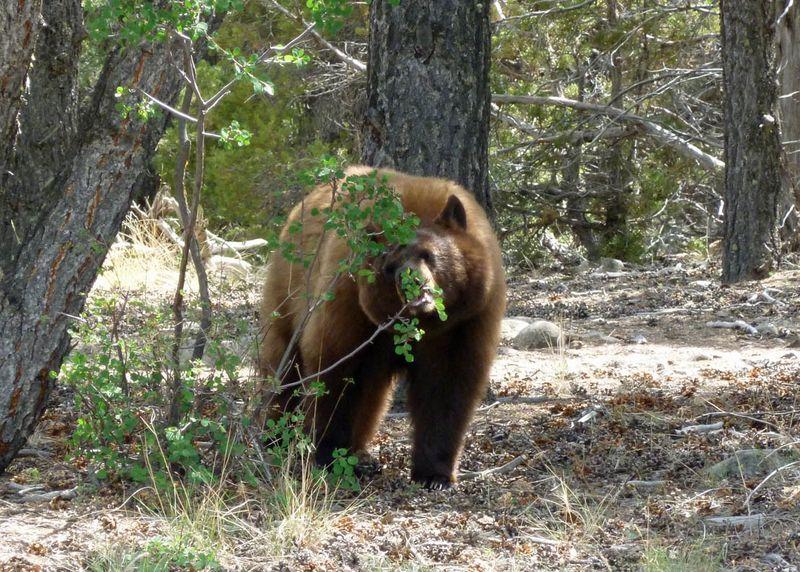 Bear visit0594cropsf 5-19-12